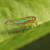 Ecuador 2012: Sacha Lodge - Sharpshooter (Cicadellidae: Cicadellinae: Cicadellini: Catagonalia lunata)