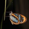 Ecuador 2012: Sacha Lodge Gunilla Clearwing (Nymphalidae: Danainae: Oleriini: Oleria gunilla; poss. O. gunilla lota)