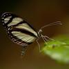 Ecuador 2012: Sacha Lodge - Pinthous Mimic White (Pieridae: Dismorphiinae: Moschoneura pinthous)