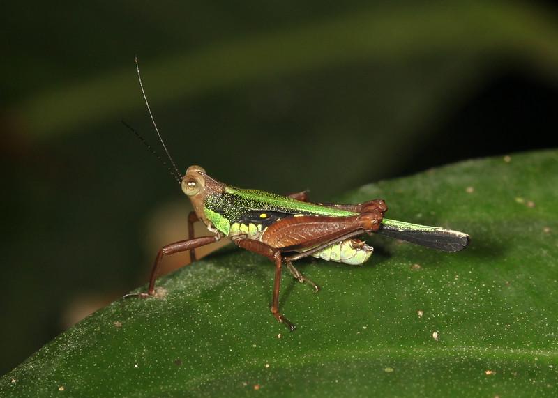 Ecuador 2012: Sacha Lodge - Grouse Locust (Tetrigidae: Batrachideinae: Scaria hamata)