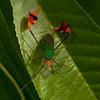 Ecuador 2012: Sacha Lodge - Banner or Leaf-footed Bug (Coreidae: Coreinae: Anisoscelini: Anisoscelis foliacea)