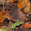 Ecuador 2012: Sacha Lodge - Amber Phantom (Nymphalidae: Satyrinae: Haeterini: Haetera piera)