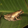 Ecuador 2012: Sacha Lodge - Short-headed Tree Frog (Hylidae: Hylinae: Dendropsophus parviceps)