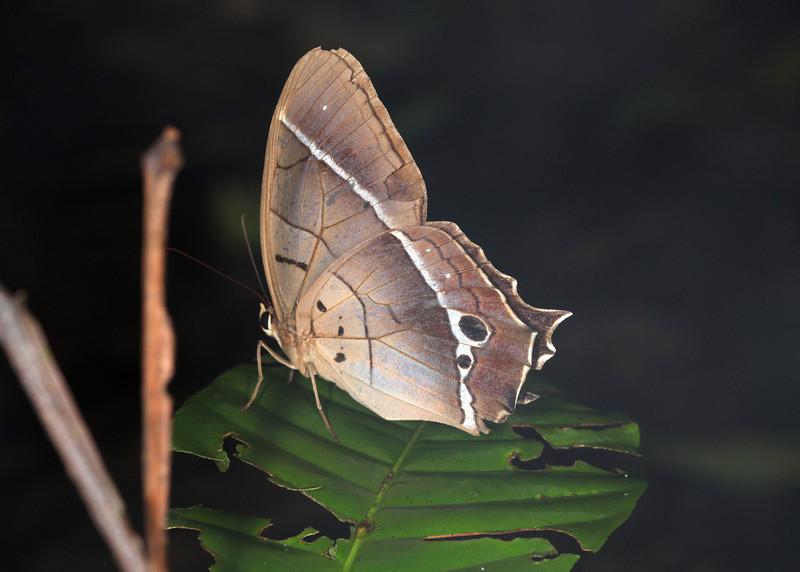 Ecuador 2012: Sacha Lodge - Common Brown Morpho (Nymphalidae: Satyrinae: Morphini: Antirrhea philoctetes)