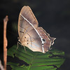 Ecuador 2012: Sacha Lodge - Common Brown Morpho (Nymphalidae: Satyrinae: Morphini: Antirrhea philoctetes)
