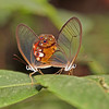 Ecuador 2012: Sacha Lodge - Amber Phantoms (Nymphalidae, Satyrinae; Haeterini; Haetera piera)