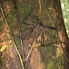 Ecuador 2012: Sacha Lodge - Tailless Whipscorpion (Amblypygi)