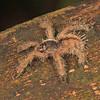 Ecuador 2012: Sacha Lodge - Juvenile tarantula (Theraphosidae: Avicularia sp.)