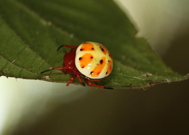 Ecuador 2012 Sacha Lodge - A unique, rare and undeniably cute Orb Weaver spider (Araneidae: Encyosaccus sexmaculatus)