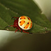 Ecuador 2012 Sacha Lodge - A unique, rare and undeniably cute Orb Weaver spider (Araneidae: Encyosaccus sexmaculatus)