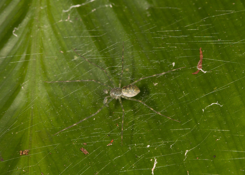 Ecuador 2012: Sacha Lodge - Nursery Web Spider (Pisauridae: probably Architis sp.)