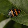 Ecuador 2012: Sacha Lodge - Pleasing Fungus Beetle (Erotylidae: Erotylinae: Erotylus sp.)