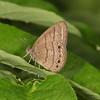 Ecuador 2012: Sacha Lodge - Hermes Satyr (Nymphalidae: Satyrinae: Hermeuptychia hermes)