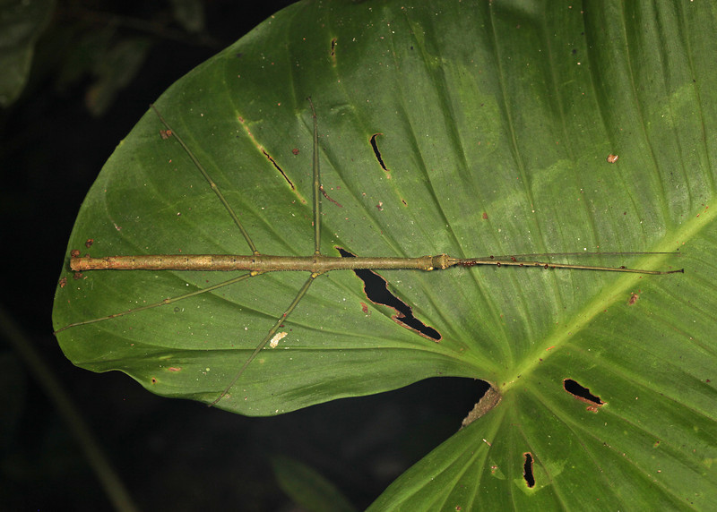 Ecuador 2012: Sacha Lodge - Unidentified Stick Insect (Phasmatodea)
