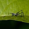 Ecuador 2012: Sacha Lodge - Bush Katydid nymph (Phaneropteridae: Phaneropterinae: Phaneropterini: Scudderia sp.; possibly S. paronae)