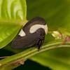 Ecuador 2012: Sacha Lodge - Membracid Treehopper (Membracidae: Membracinae: Membracini: Membracis tectigera)