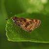 Ecuador 2012: Sacha Lodge - Grass skipper (Hesperiidae: Hesperiinae: )