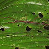 Ecuador 2012: Sacha Lodge - Unidentified Stick Insect or Walking Stick (Phasmatodea)