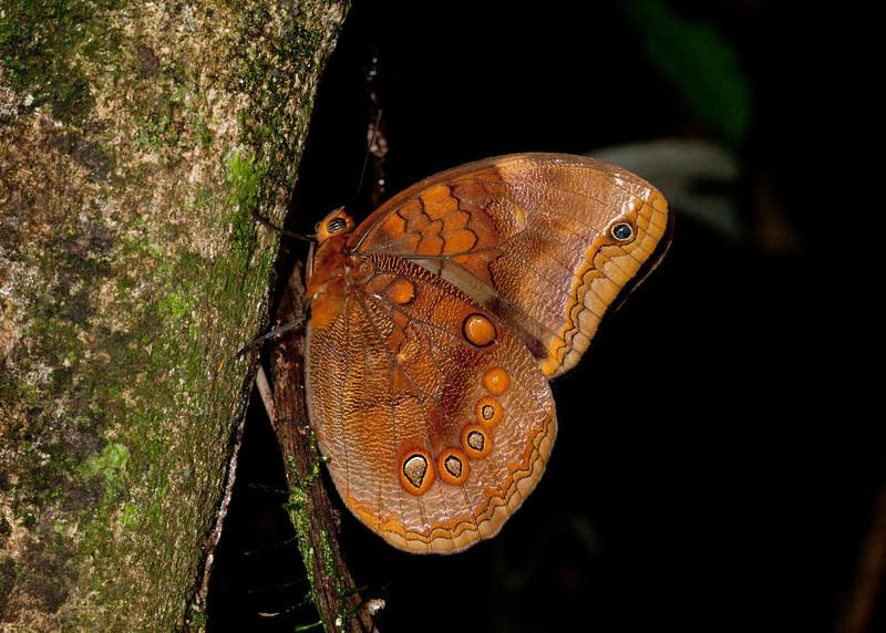 Ecuador 2012: Sacha Lodge - Ocellated Owlet (Nymphalidae: Satyrinae: Brassolini: Catoblepia berecynthia)