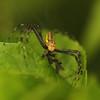 Ecuador 2012: Sacha Lodge - Lynx spider (Oxyopidae)