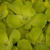 Ecuador 2012: Sacha Lodge - Water Lettuce (Pistia stratiotes)