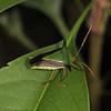 Ecuador 2012: Sacha Lodge - Stink Bug (Pentatomodae: Edessinae: Edessa sp.)