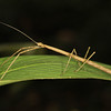 Ecuador 2012: Sacha Lodge - Stick Insect or Walking Stick  (Phasmatodea: Diapheromeridae: near Dyme sp.)