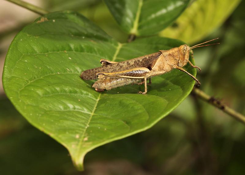 Ecuador 2012: Sacha Lodge - Yellow-lined Abracris (Acrididae: Ommatolampidinae: Abracrini: Abracris flavolineata)