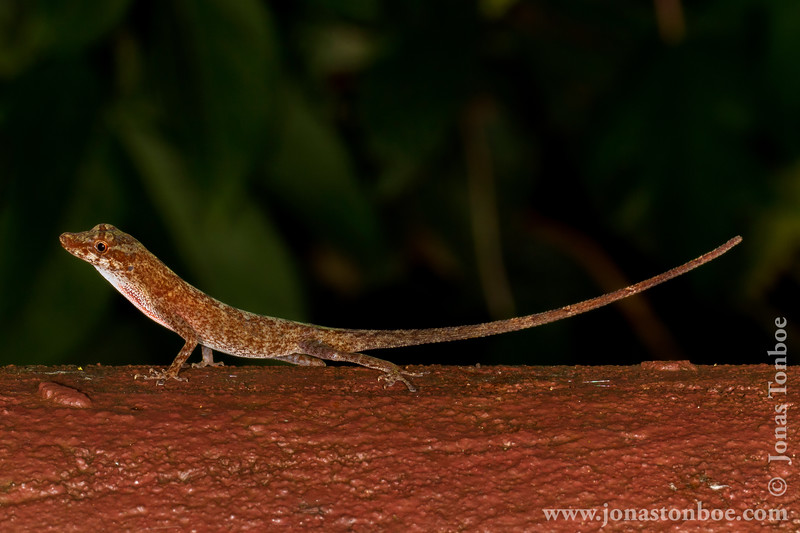 Amazon Bark Anole