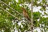 Juvenile Rufescent Tiger Heron