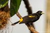Yasuni National Park. Napo Wildlife Center: Yellow-rumped Cacique (<i>Cacicus cela</i>)