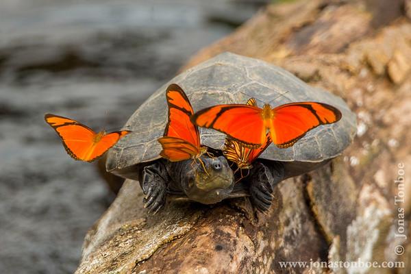 Yasuni National Park. Napo Wildlife Center: Yellow-spotted Amazon River Turtle (Podocnemis unifilis) and tear feeding butterflies