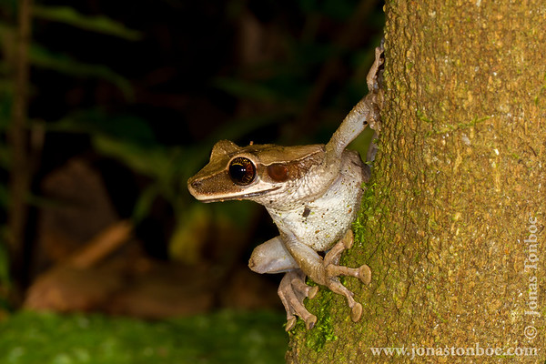 Sacha Lodge Private Reserve: Frog