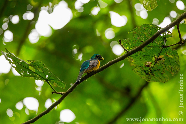 Yasuni National Park. Napo Wildlife Center: Black-throated Trogon (Trogon rufus)