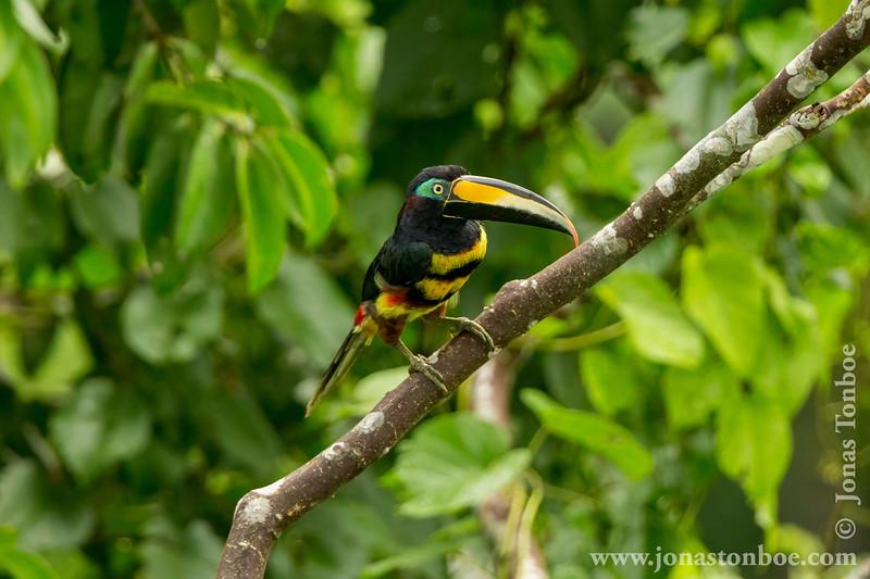Many-banded Aracari