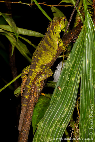 Amazon Wood Lizard