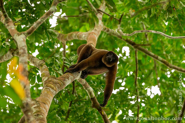 Yasuni National Park. Napo Wildlife Center: Woolly Monkey (Lagothrix poeppigii)