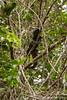 Caiman Lizard