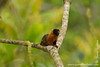 Golden-mantled Tamarin