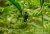 Plumbeous Antbird