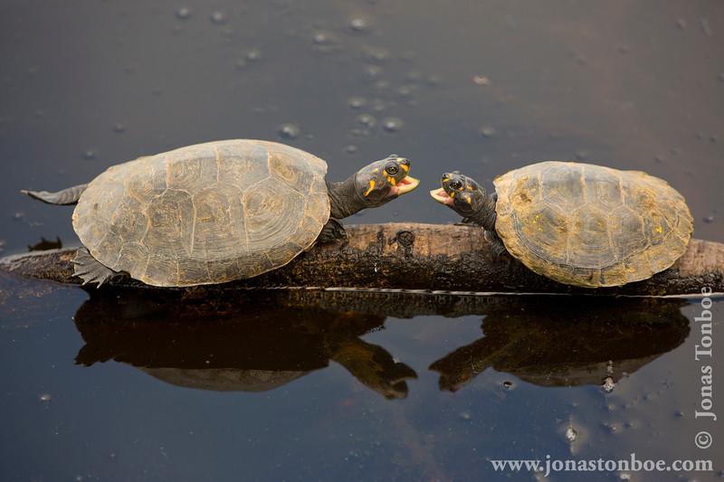 Yellow-spotted Amazon River Turtle