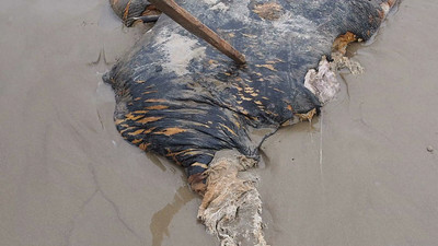 Washed-ashore whale blubber on the beach - Montanita, Ecuador