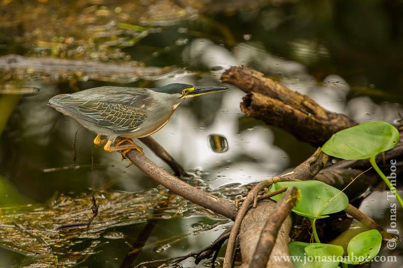 Striated Heron Catching Fish