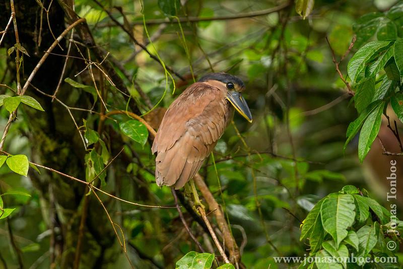 Boat-billed Heron