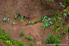 Yasuni National Park. Napo Clay Lick: Mealy Amazon (<i>Amazona farinosa</i>)