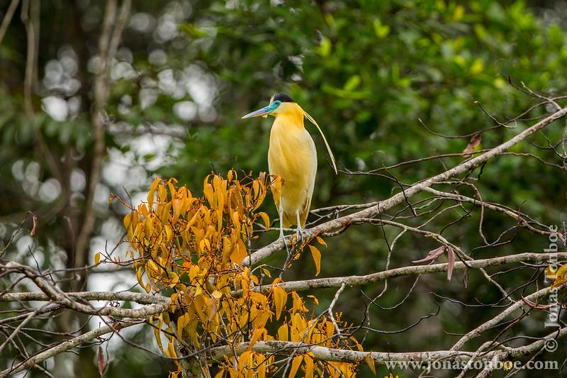 Yasuni National Park. Napo Wildlife Center: Capped Heron (<i>Pilherodius pileatus</i>)