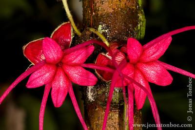 Yasuni National Park. Napo Wildlife Center: Cocoa flower