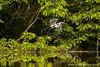 Panacocha Reserve: Cocoi Heron (<i>Ardea Cocoi</i>)