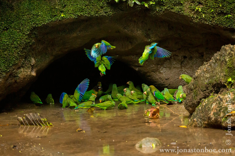 Orange-cheeked Parrot, Cobalt-winged Parakeet and Scarlet-shouldered Parrotlet