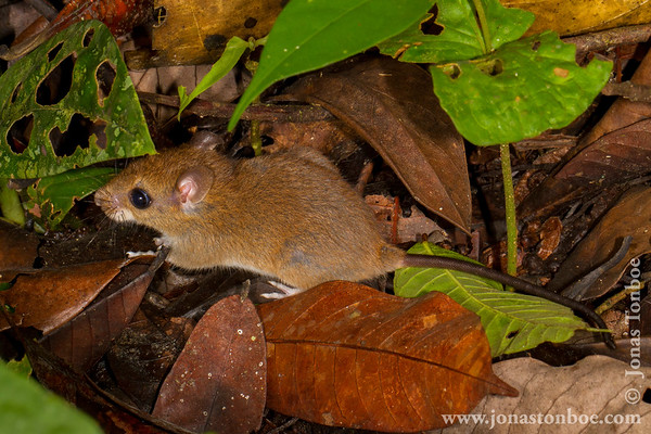 Sacha Lodge Private Reserve: Mouse